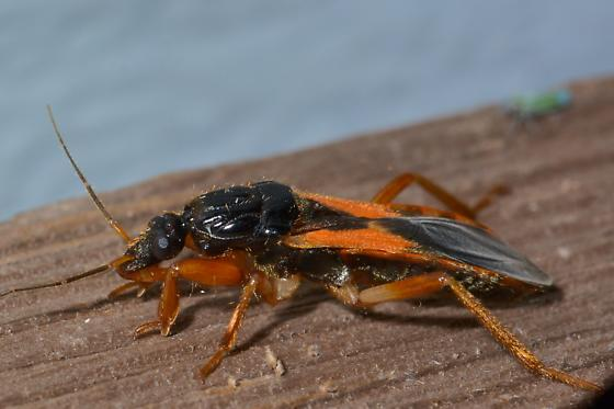 black/orange bug - Sirthenea carinata