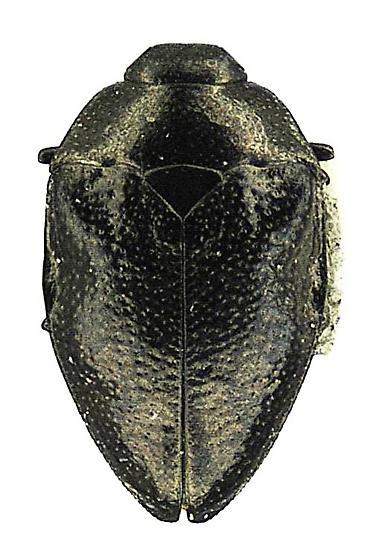 Pachyschelus laevigatus (Say) - Pachyschelus laevigatus - female