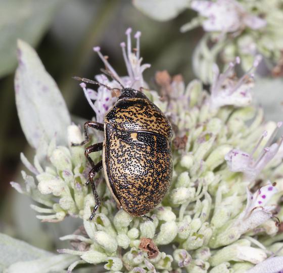Scutellerid - Orsilochides guttata