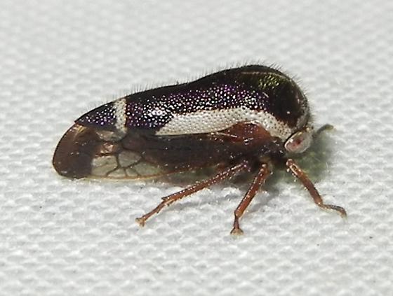 Ophiderma flavicephala