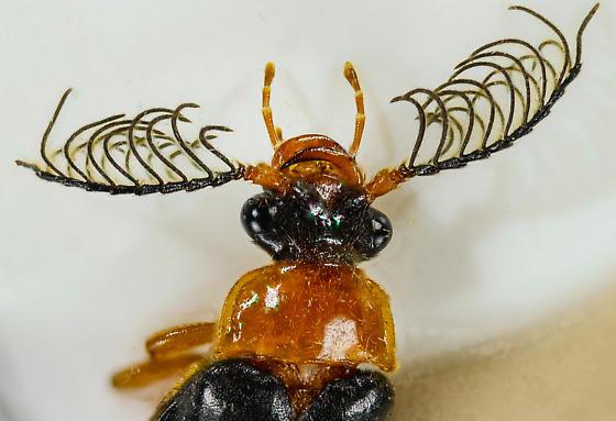 Western Banded Glowworm - Zarhipis integripennis - male
