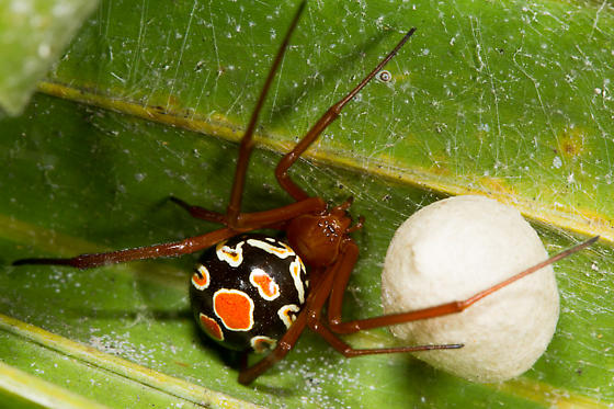 Red Widow with Egg Sac - Latrodectus bishopi - female