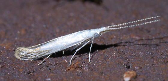 Thin, white moth - Coleophora tiliaefoliella