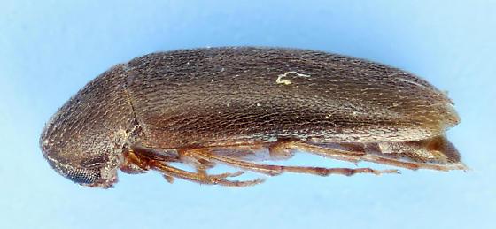 Beetle - Anisoxya glaucula