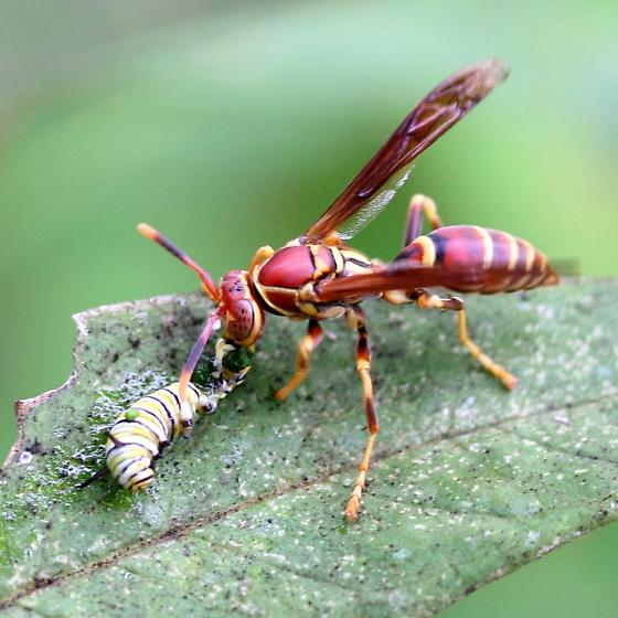 Wasp - Polistes exclamans