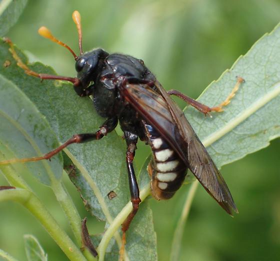 Cimbicidae sp ? - Cimbex americanus - female