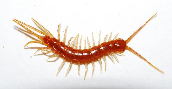 Lithobiomorpha sp. - Lithobius forficatus