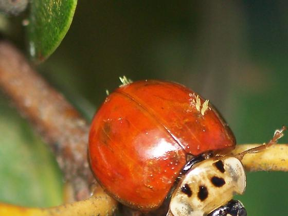 What Is This Growth? - Harmonia axyridis