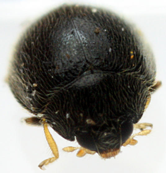 Beetle - Stethorus punctum