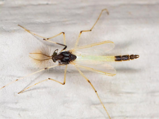 chironomid - Microtendipes - male
