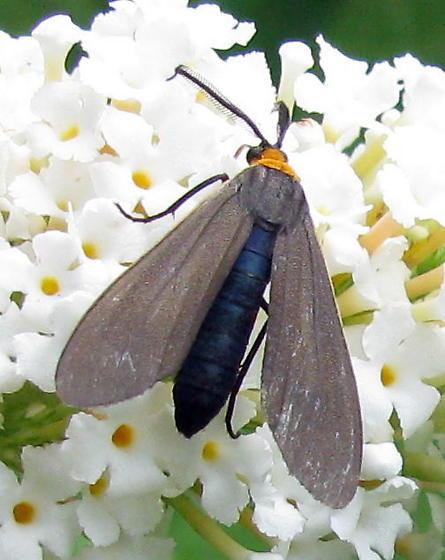 Cisseps fulvicollis? Species Cisseps fulvicollis - Yellow-collared Scape Moth - Hodges#8267 - Cisseps fulvicollis - male