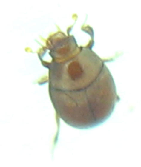 New smallest beetle! - Bacanius punctiformis
