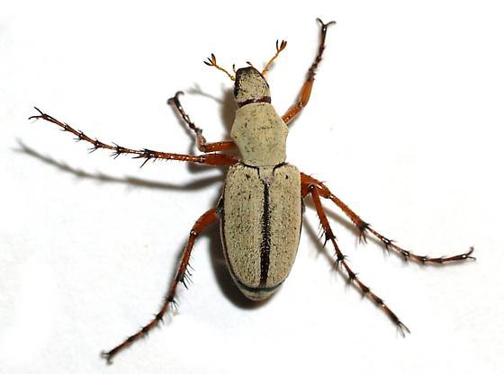 Macrodactylos sp. - Macrodactylus uniformis