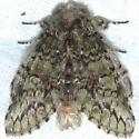 Macrurocampa marthesia-Mottled Prominent? - Heterocampa umbrata
