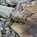 A longhorn beetle. - ID,please. - Knulliana cincta
