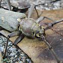 A longhorn beetle. - ID,please. - Knulliana cincta