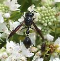 Zethus Spinipes - Zethus spinipes
