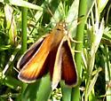 Hobomok Skipper (Poanes hobomok) - Thymelicus lineola
