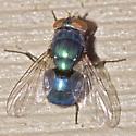 Hairy Maggot Blow Fly - Chrysomya megacephala - female