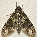 Gray and white moth - Dolba hyloeus