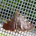 Yellow-fringed Dolichomia Moth - Hypsopygia olinalis