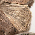 Xestia cinerascens
