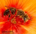 Bee - Calliopsis subalpina