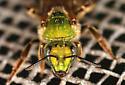 female bicolored agapostemon - Agapostemon virescens - female