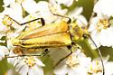 Fuzzy golden beetle - Lepturobosca chrysocoma
