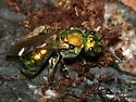 Sweat Bee - Augochlora pura - female