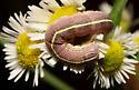 Noctuidae - Cucullia florea