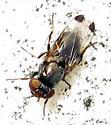 Fly - Euxesta notata - male