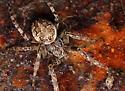 bridge spider - Larinioides sericatus - female