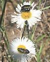 Beetles - Acmaeodera