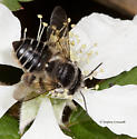 Bee visits flower - Megachile brevis