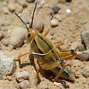 Grasshopper Nymph - Brachystola magna