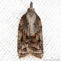 Tufted Apple Bud Moth - Hodges #3740 - Platynota idaeusalis