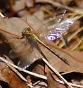 Ashy Clubtail (?) - Phanogomphus lividus