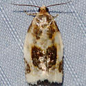 Black-patched Clepsis Moth - Clepsis melaleucanus