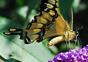 Giant Swallowtail, Finally! - Papilio rumiko - male