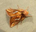 645 Plusia nichollae - No Common Name 8951 - Plusia nichollae