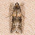 Dioryctria delectella (T) - Dioryctria delectella