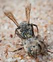 Bees - Calliopsis - male - female