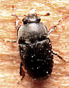 Beetle - Fabogethes nigrescens