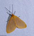 moth - Eubaphe unicolor