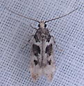 Curved Horn Moth ?