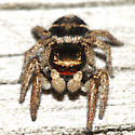 Habronattus sp. - Habronattus borealis - male