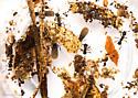Cyphomyrmex rimosus - male - female