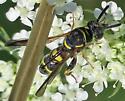 Leucospis affinis - female