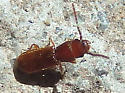 orange beetle - Cryptolestes